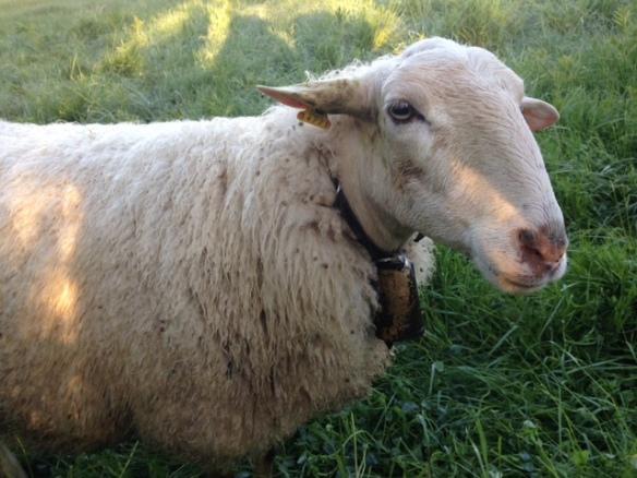 camino sheep