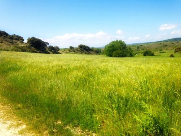 wheat fields day 7